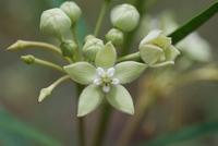 Kanahia laniflora (Forssk.) R.Br.