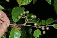 Keetia venosa (Oliv.) Bridson