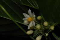 Lindackeria dentata (Oliv.) Gilg