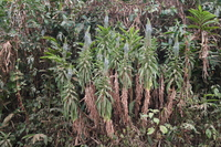 Lobelia columnaris Hook.f.
