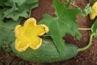 Luffa cylindrica (L.) M.Roem.