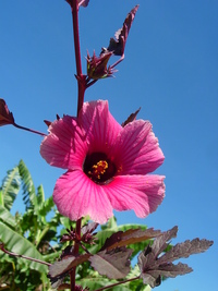 Hibiscus acetosella Welw. ex Hiern