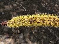 Elephantorrhiza goetzei (Harms) Harms