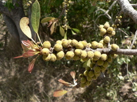 Ficus natalensis Hochst. subsp. natalensis