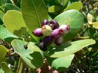 Syzygium cordatum Hochst. in C.Krauss