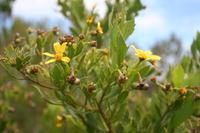 Osteospermum moniliferum L.