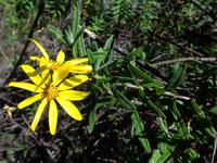 Osteospermum volkensii (O. Hoffm.) Norl.