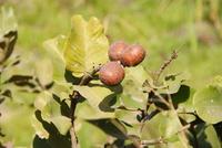Parinari macrophylla Sabine