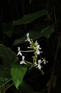 Pseuderanthemum ludovicianum (Büttner) Lindau