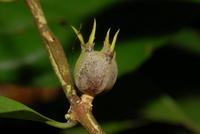 Psilanthus mannii Hook. f.