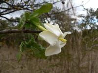 Gardenia ternifolia Schumach. & Thonn.
