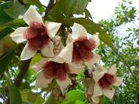Rothmannia engleriana (K.Schum.) Keay