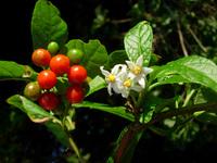 Solanum plousianthemum Dammer