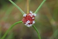 Spermacoce filifolia (Schumach. & Thonn.) J.-P.Lebrun & Stork