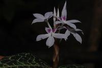 Stenandrium guineense (Nees) Vollesen