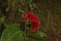 Syzygium giorgii De Wild.