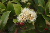 Syzygium staudtii (Engl.) Mildbr.