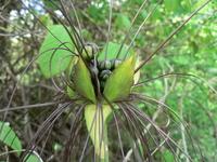 Tacca leontopetaloides (L.) Kuntze