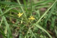 Tricliceras pilosum (Willd.) R.Fern.