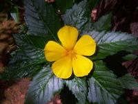 Turnera ulmifolia L.