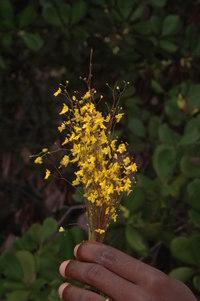 Utricularia subulata L.