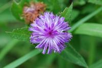 Vernonia purpurea Sch.Bip. ex Walp.