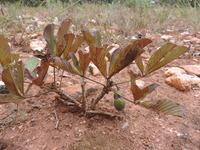 Vitex madiensis subsp. milanjiensis (Britten) F. White