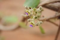 Vitex simplicifolia Oliv.