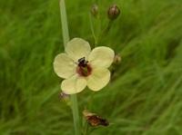 Sopubia parviflora Engl.
