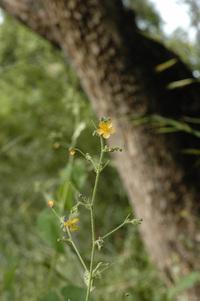Wissadula amplissima (L.) R.E.Fr. var. rostrata (Schumach.) R.E.Fr.