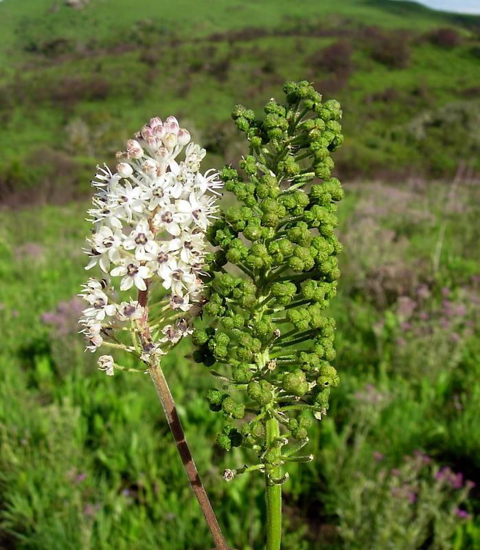 African Plants A Photo Guide Scilla Nervosa Burch