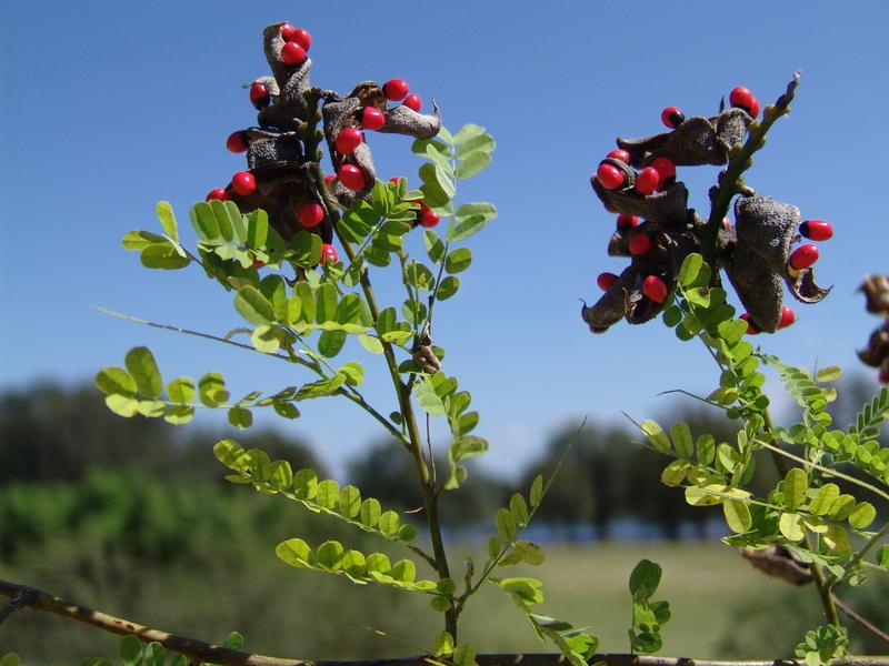 West African Plants A Photo Guide Abrus Precatorius L