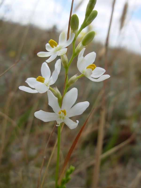 African Plants - A Photo Guide - Ixia polystachya L