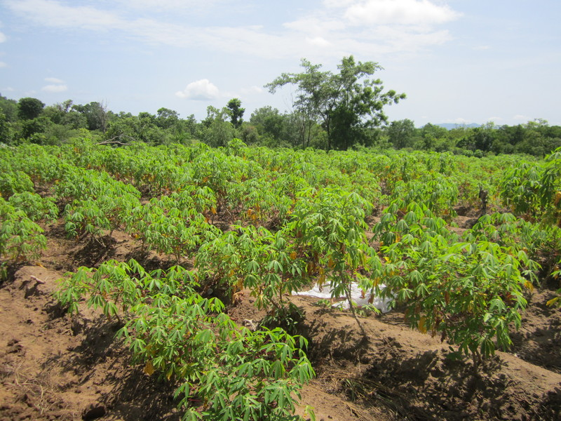 the effectiveness of cassava manihot esculenta Cassava (manihot esculenta)  indicated that the effectiveness of the gums sourced from sigma-aldrich was similar to the food grade gums.