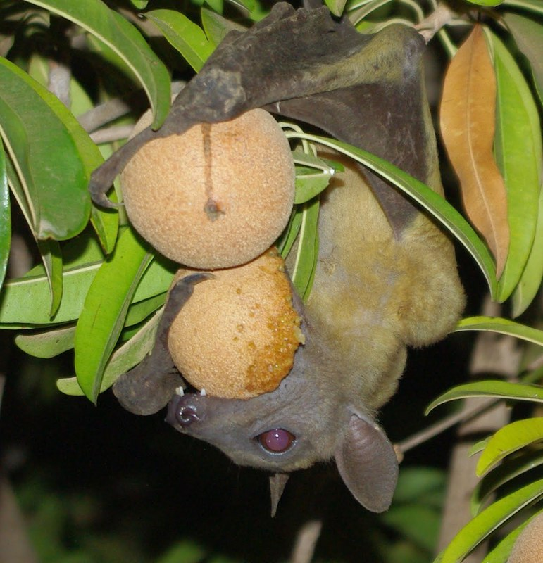 genus manilkara Manilkara zapota, commonly known as the sapodilla (/ ˌ s æ p ə ˈ d ɪ l ə /), is a long-lived, evergreen tree native to southern mexico, central america and the caribbean an example natural occurrence is in coastal yucatán in the petenes mangroves ecoregion, where it is a subdominant plant species.