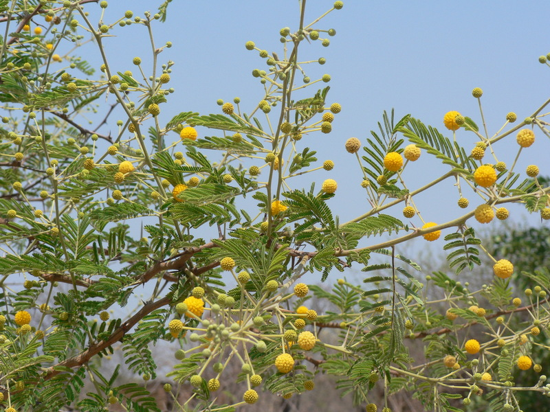 insecticidal property of acacia seeds and bark against mosquitoes Acacia polyacantha ssp the smell of the tree is useful repellent against snakes and falcon's claw acacia germplasm management seed storage behaviour.