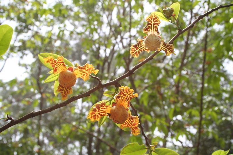 literature review on monodora tenufolia