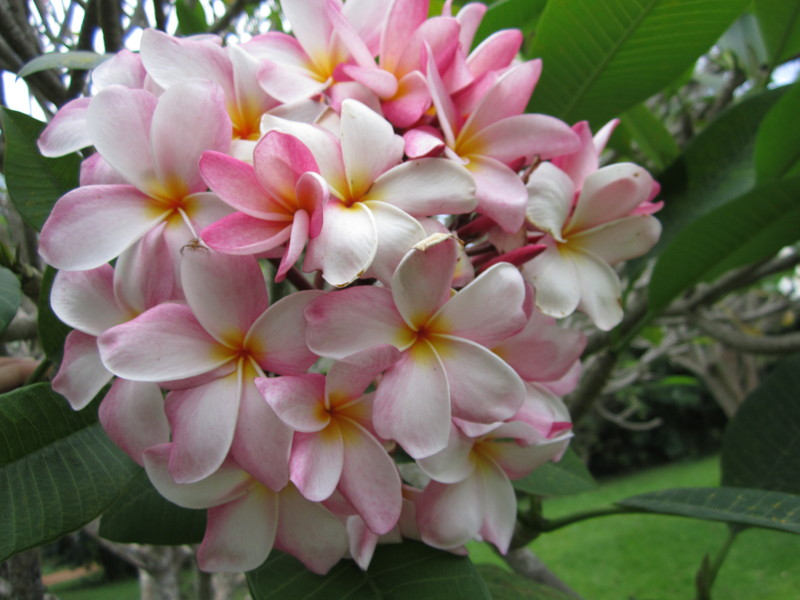 West African Plants - A Photo Guide - Plumeria rubra L.