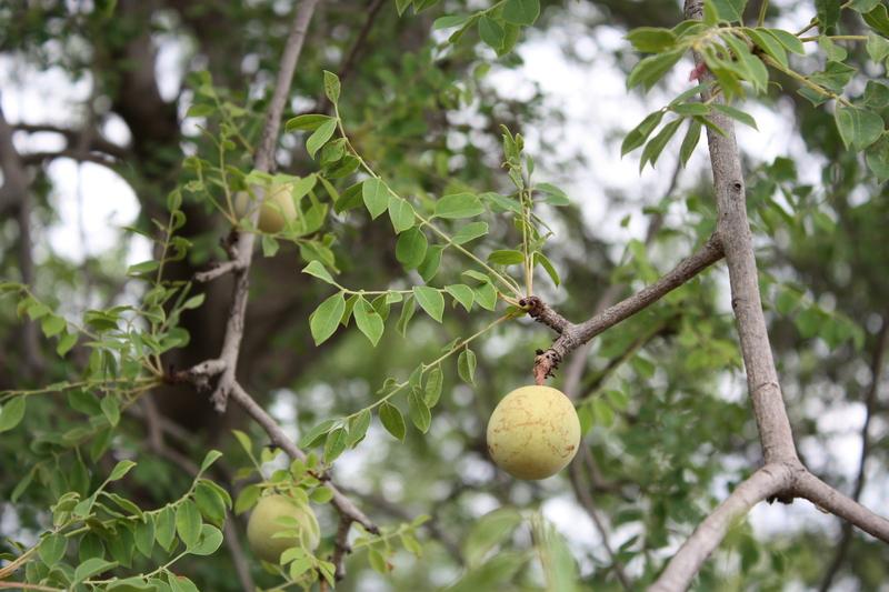 Flora of Zimbabwe: Species information: individual images ...
