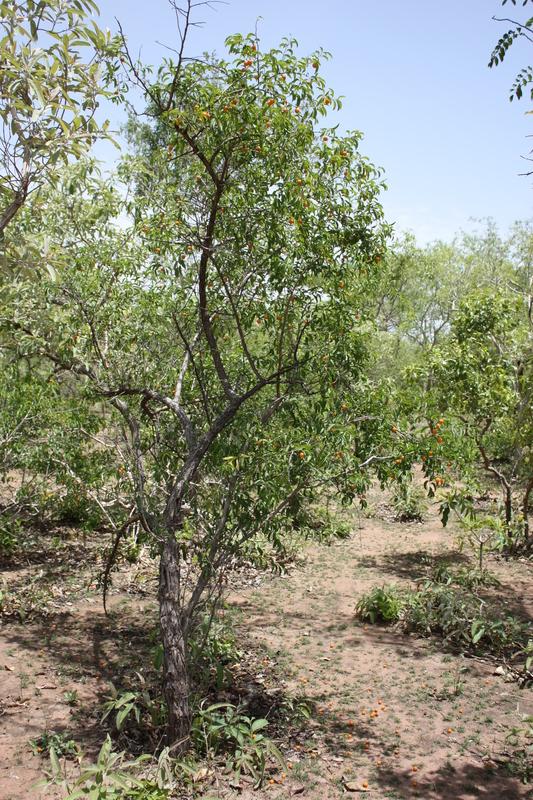 ximenia americana l family olacaceae genus ximenia species ximenia    Ximenia Americana